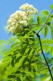 Ramoscello del pino in primavera Giovane ramo verde del pino Primavera per Immagine Stock