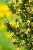 Ramoscello del pino in primavera Giovane ramo verde del pino Primavera per Fotografia Stock
