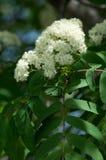 Ramoscello del pino in primavera Giovane ramo verde del pino Primavera per Immagini Stock