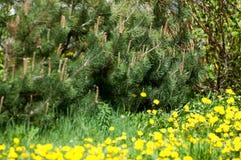 Ramoscello del pino in primavera Giovane ramo verde del pino Primavera per Fotografia Stock Libera da Diritti