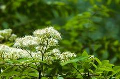 Ramoscello del pino in primavera Giovane ramo verde del pino Primavera per Immagini Stock Libere da Diritti