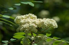 Ramoscello del pino in primavera Giovane ramo verde del pino Primavera per Fotografie Stock Libere da Diritti