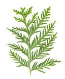 Ramoscello del thuja isolato su fondo bianco evergreen immagini stock