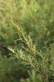 Ramoscello dell'albero del tè Immagini Stock