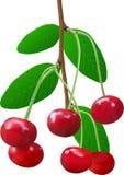 Ramoscello della ciliegia di estate Fotografie Stock
