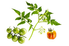 Ramoscello della pianta di pomodori con i fiori ed i pomodori ciliegia verdi sulla b Fotografia Stock Libera da Diritti