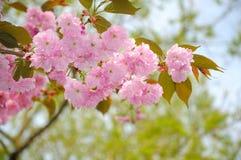 Ramoscello di fioritura del ciliegio Fotografia Stock