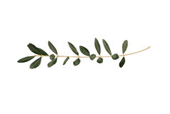Ramoscello di olivo con i fogli isolati su bianco Fotografie Stock Libere da Diritti