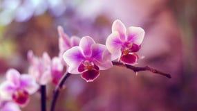 Ramoscello di orchidaceae Fotografie Stock
