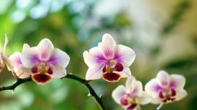 Ramoscello di orchidaceae Immagini Stock Libere da Diritti