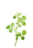 Ramoscello di Rosa con le foglie isolate Fotografie Stock