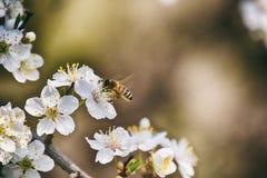 Ramoscello di un albero da frutto inondato di piccoli fiori bianchi delicati Immagini Stock
