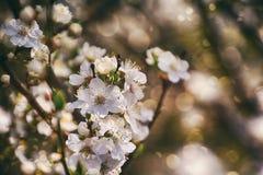 Ramoscello di un albero da frutto inondato di piccoli fiori bianchi delicati Immagine Stock