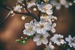 Ramoscello di un albero da frutto inondato di piccoli fiori bianchi delicati Fotografia Stock