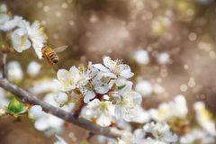 Ramoscello di un albero da frutto inondato di piccoli fiori bianchi delicati Fotografie Stock