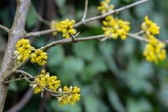 Ramoscello lirico con i fiori gialli sul fondo vago di hedera helix dell'edera Macro fiore di corniolo selettivo molle del fuoco immagini stock libere da diritti