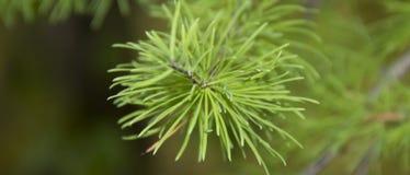 Ramoscello verde chiaro e giovane del pino fotografie stock