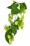 Ramoscello verde con i coni maturi del luppolo Fotografia Stock Libera da Diritti
