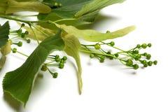 Ramoscello verde di tilia prima del fiore Immagini Stock