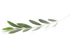 Ramoscello verde oliva Fotografia Stock