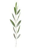 Ramoscello verde oliva Fotografie Stock Libere da Diritti
