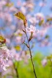 Ramoscello verticale del ciliegio, due fiori Fotografie Stock Libere da Diritti