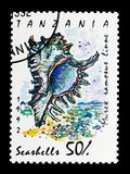 Ramose Murex (Murex-ramosus), Overzeese slakken en mosselen serie, circ Stock Foto's