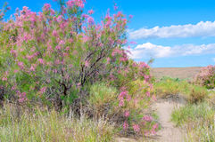 Ramosissima de Tamarix en fleur Photographie stock libre de droits