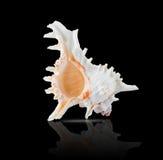 ramosus chicoreus Стоковое Фото