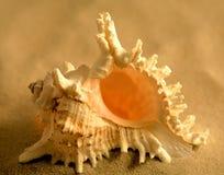 ramosus murex Стоковые Изображения RF