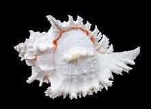 Ramosus murex Seashell Стоковые Фотографии RF