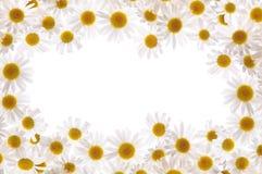 Ramowe białe stokrotki i biały tło zdjęcia stock