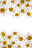 Ramowe białe stokrotki i biały tło obrazy royalty free