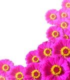 ramowe kwiat cynie Fotografia Stock