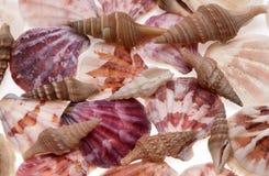 ramowi seashells Zdjęcie Royalty Free