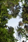 ramowy korony drzewo Zdjęcie Royalty Free