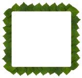 ramowy liść rhoicissus rhomboidea Zdjęcia Royalty Free