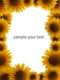 ramowy słonecznik Fotografia Royalty Free
