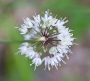 Ramp Flower. Closeup of blooming Ramp Flower (Allium tricoccum Stock Image