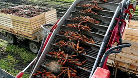 Ramp for loading carrots in tractor-trailer stock video