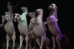 Rampant circus white horses Stock Photos