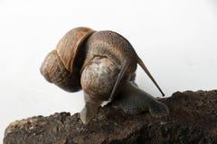 Rampant et embrassant des escargots Photo libre de droits