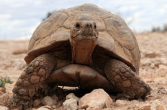 Rampement énorme de tortue Images stock