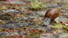 Rampement actif d'escargot de jardin (espèces : Aspersa d'hélice ou aspersum de Cornu) banque de vidéos