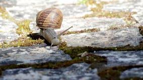 Rampement actif d'escargot de jardin (espèces : Aspersa d'hélice ou aspersum de Cornu) clips vidéos