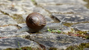 Rampement actif d'escargot de jardin (tir B) clips vidéos