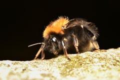 Rampement d'abeille d'une roche Photographie stock