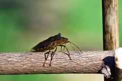 Rampement de Forest ShieldBug Photographie stock libre de droits