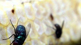 Rampement de mouches domestiques sur l'épi de maïs jaune banque de vidéos