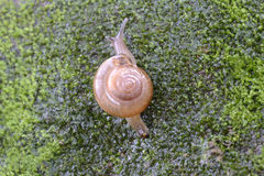 Rampement labié d'escargot de Brown Photos stock